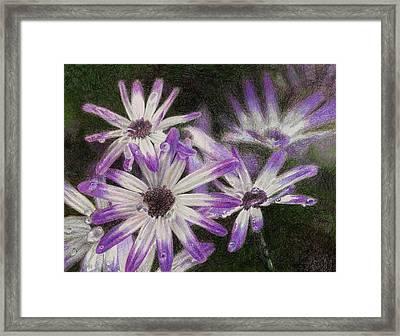 Senetti Pericallis Framed Print by Steve Asbell