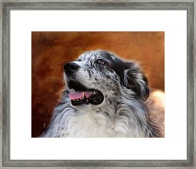 Senior Australian Shepherd Portrait Framed Print by Jai Johnson