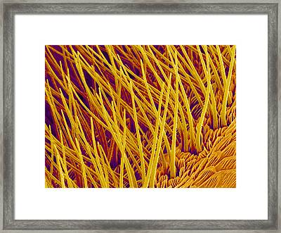 Sensory Hairs On A Moth Antenna, Sem Framed Print