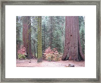 Sequoia  Trees  Framed Print