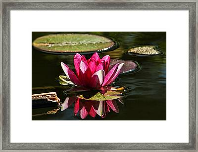 Serene Pink Water Lily Reflection Framed Print by Tracie Kaska