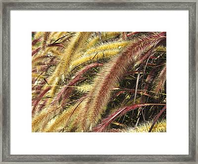Setaria Italica Red Jewel - Red Bristle Grass Framed Print by Anne Mott