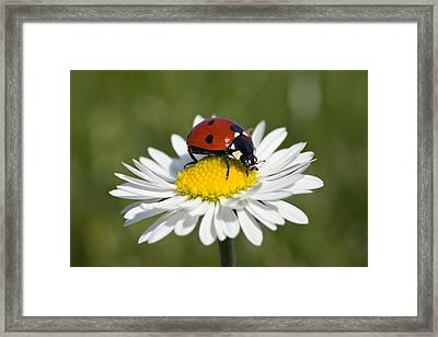 Seven-spotted Ladybird Coccinella Framed Print