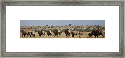 Seven White Rhinos Line Up In Solio Framed Print