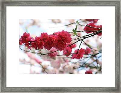 Shades Of Pink Blossom Framed Print by photo by Marcia Luly