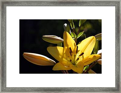Shadow Lilly Framed Print by Wendi Curtis