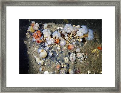 Shaggy Mouse Nudibranchs Framed Print by Alexander Semenov