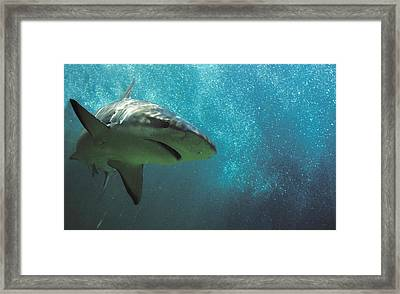 Shark Attack Framed Print by Carl Purcell
