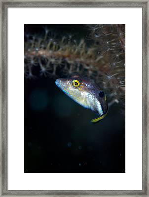 Sharp Nosed Puffer Framed Print by Jean Noren