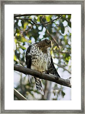 Sharp Shinned Hawk - Winged Stare -5459 Framed Print