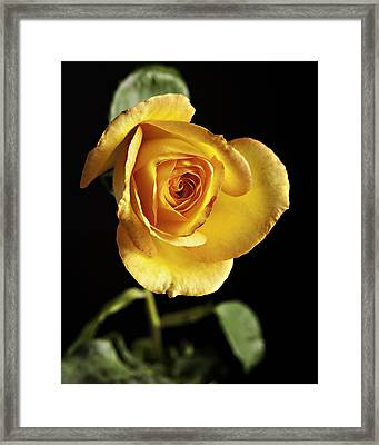 Sharp Yellow Rose On Black Framed Print by M K  Miller