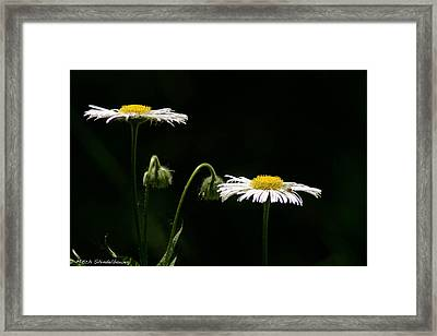 Framed Print featuring the photograph Shasta Daisies by Mitch Shindelbower