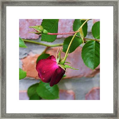 She Shed A Tear Framed Print by Mary Zeman
