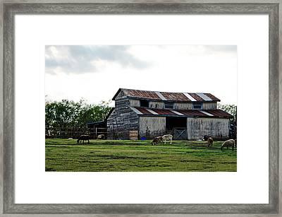 Sheep Barn Framed Print by Lisa Moore