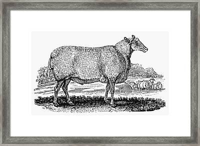 Sheep, C1800 Framed Print by Granger