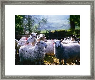 Sheep, Co Kerry, Ireland Framed Print