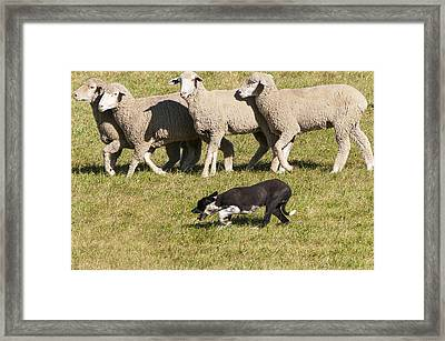 Sheep Dog Trials Framed Print