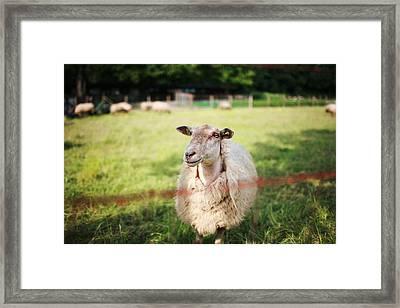 Sheep Framed Print by Easonliao