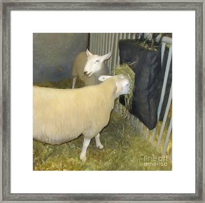 Sheep Eating Framed Print