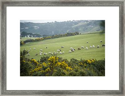 Sheep Graze On The Otago Peninsula Framed Print by Bill Hatcher