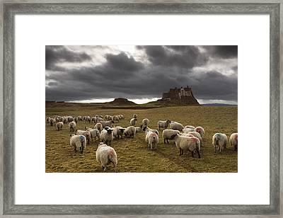 Sheep Grazing By Lindisfarne Castle Framed Print by John Short