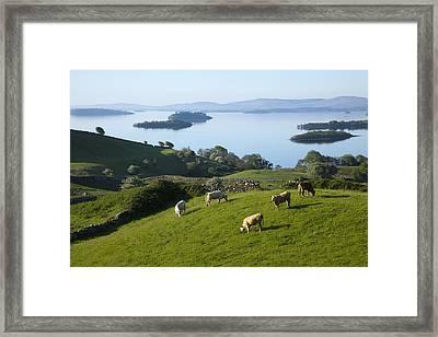 Sheep Grazing By Lough Corrib Cong Framed Print