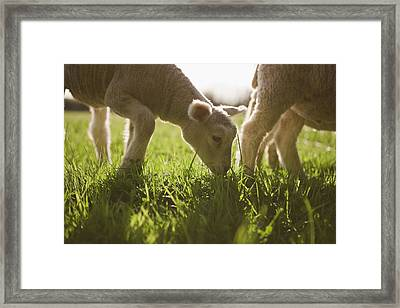 Sheep Grazing In Grass Framed Print by Jupiterimages