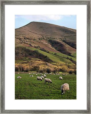 Sheep Grazing In Peak Framed Print by Michelle McMahon