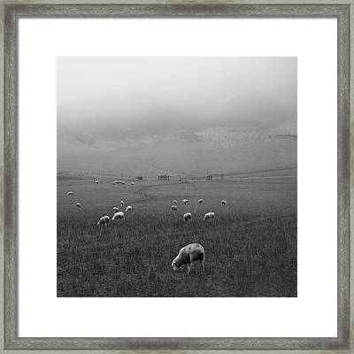 Sheep Grazing Framed Print by Sonja Rolton