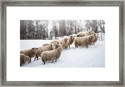 Sheep Herd Waking On Snow Field Framed Print