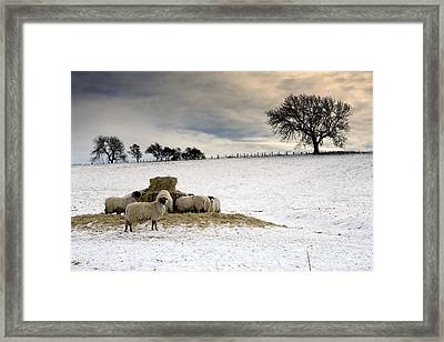 Sheep In Field Of Snow, Northumberland Framed Print by John Short