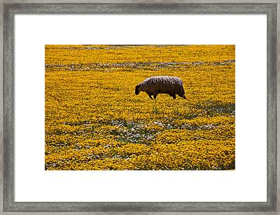 Sheep In Meadow Of Golden Flowers Framed Print by Garry Gay