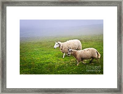 Sheep In Misty Meadow Framed Print