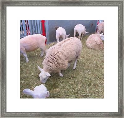 Sheep In Shear Panic Framed Print