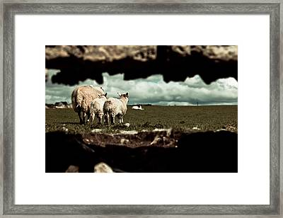 Sheep In The Wall Framed Print