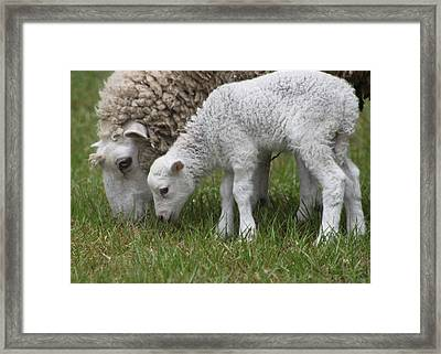 Sheep Mom And Lamb Grazing Framed Print