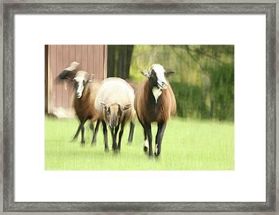 Sheep On The Run Framed Print by Karol Livote