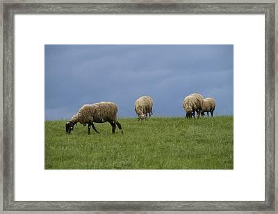 Sheep Framed Print by Pan Orsatti