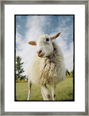 Sheep Sheared With Poodle Cut Framed Print by Darwin Wiggett