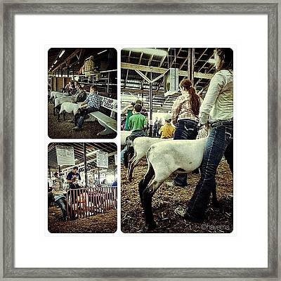 Sheep Show Framed Print