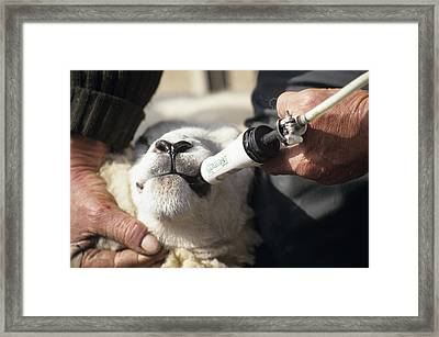 Sheep Worming Framed Print by David Aubrey