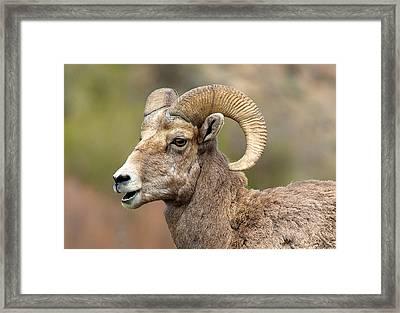 Sheepish Framed Print by Bob Smithing