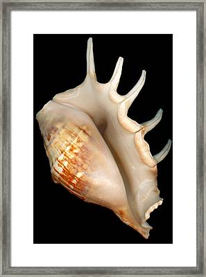 Shell - Conchology - Conch Framed Print
