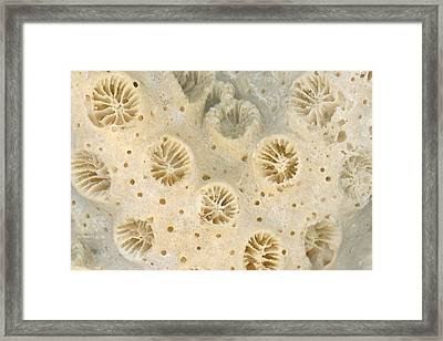 Shell - Conchology - Coral Framed Print by Mike Savad