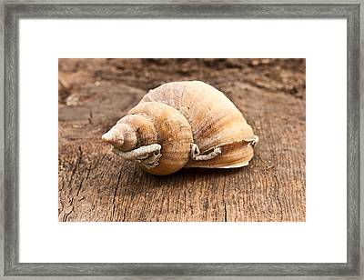 Shell Framed Print by Tom Gowanlock