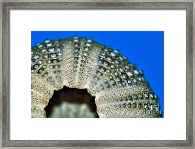Shell With Pimples 2 Framed Print by Kaye Menner