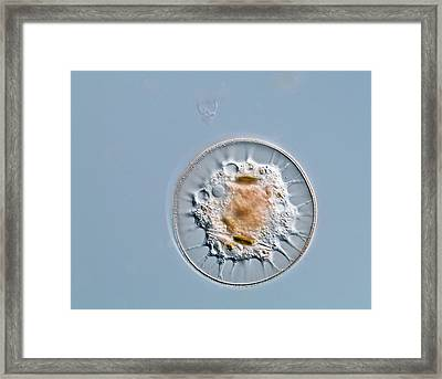 Shelled Amoeba, Light Micrograph Framed Print by Gerd Guenther