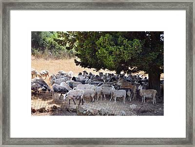 Sheltering Flock Framed Print by Paul Cowan