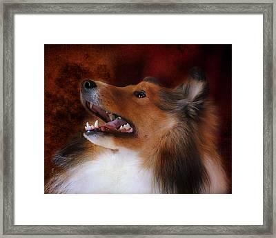 Sheltie II Framed Print by Jai Johnson