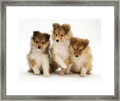 Sheltie Puppies Framed Print by Jane Burton